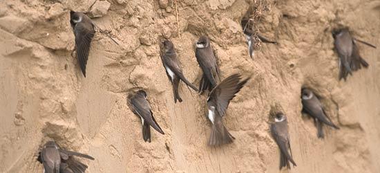 UferSchwalbe zurück am See