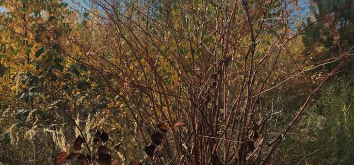Neophyten am Störmthaler See: Der Japanische Staudenknöterich