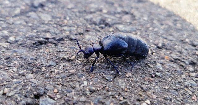 Insekt des Jahres 2020: Der Schwarzblaue-Ölkäfer