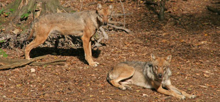 Der Wolf in Sachsen: zwischen Märchen und Realität