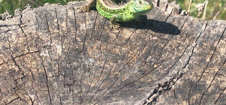 Die Zauneidechse: Reptil des Jahres 2020 und 2021